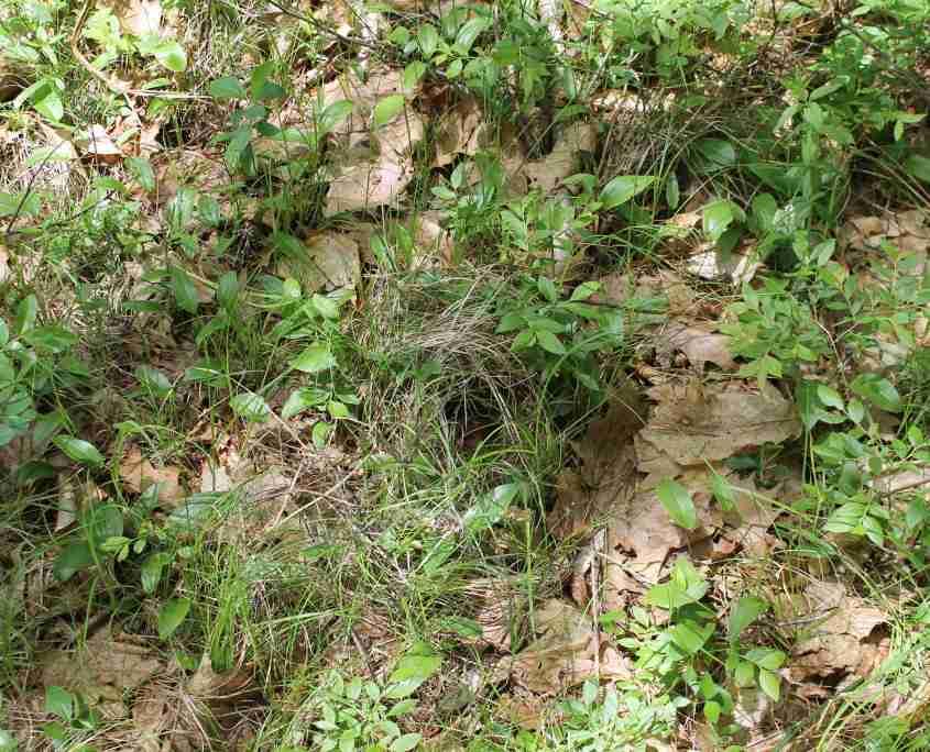Ovenbird nest from afar